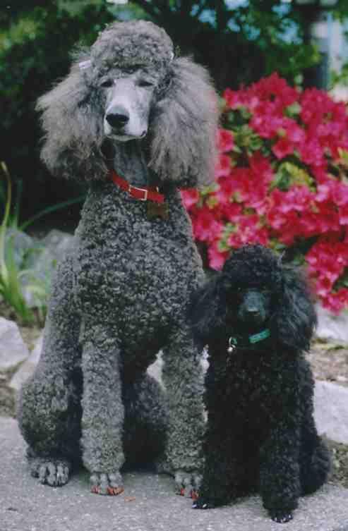 the standard poodlePoodles Cor-De-Rosa, Hunting Dogs, Standard Poodles, Standards Poodles, Poodles Cut, Poodles Puppies, Big Dogs, Black Poodles, Poodle Puppies