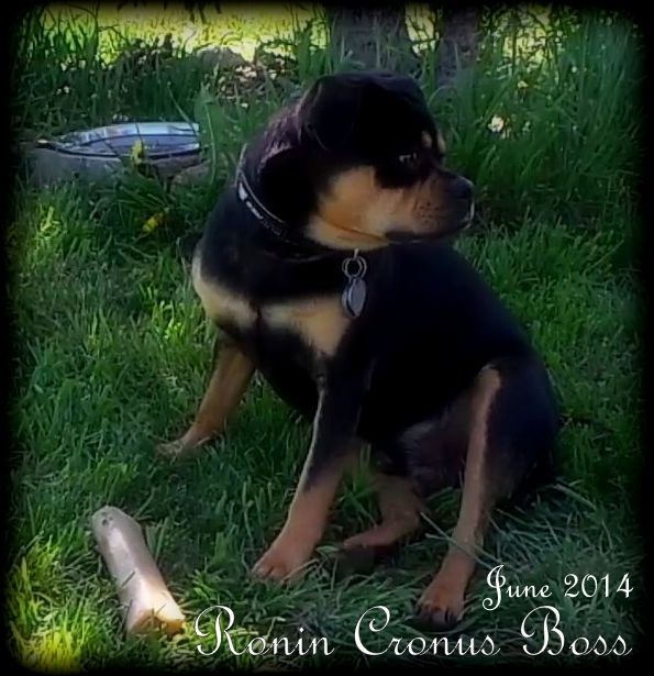 What Is A Rottiebear To Download What Is A Rottiebear Just Right Click ...