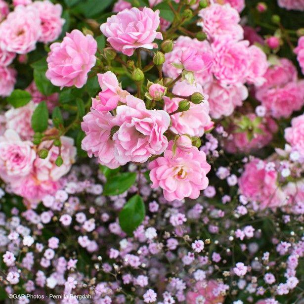 Duo+tendresse+-+Duo+de+rosiers+et+de+Gypsophiles+roses
