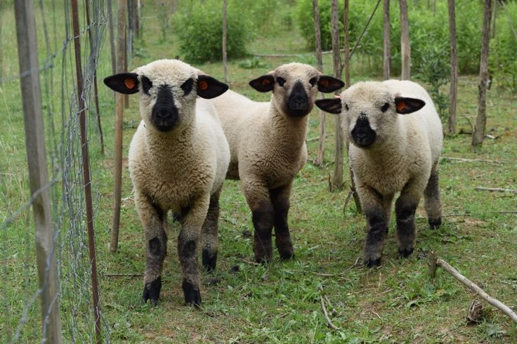 hempshire sheep love