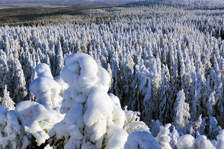 forêt enneigée en Laponie