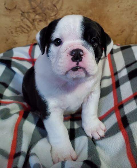 Nellie Black And White English Female 2700 Boston Terrier
