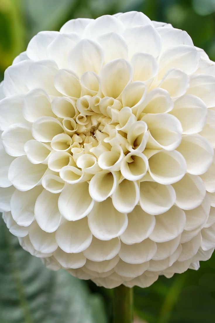 Dahlia ball petras wedding dahlias pinterest cut flowers these pure white dahlias are must their perfectly round flower heads measure 3 across and are packed with tighly rolled petals mightylinksfo