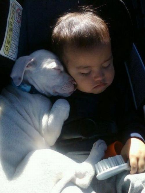 so sweetSleep Dogs, Families Trips, Best Friends, Pitbull, Sweets Dreams, Pit Bull, Cuddling Buddy, Naps Time, Animal