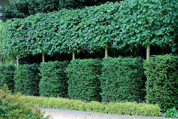 pleached birch trees - Google Search