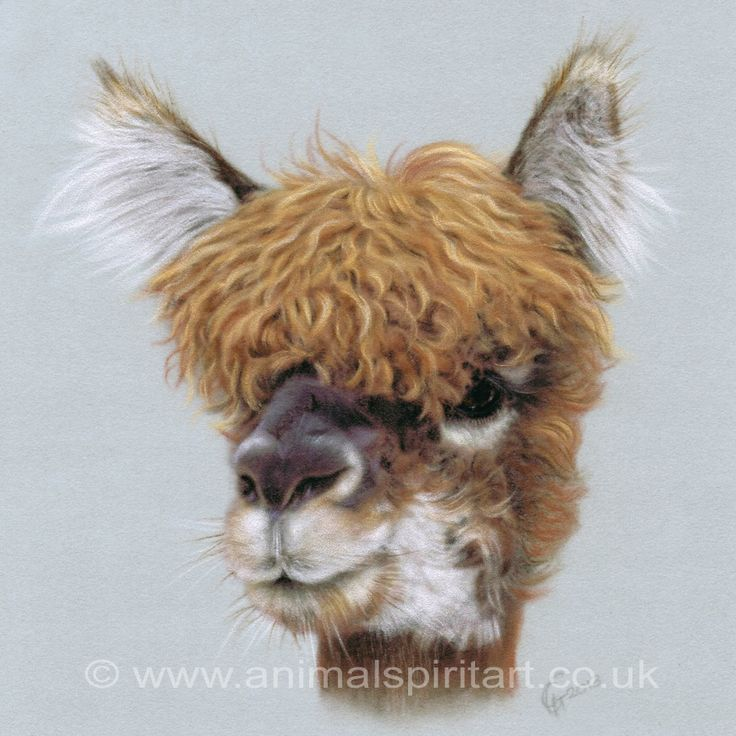 Mop head limited edition fine art print from a pastel painting of an alpaca by georgina gibbons bbc wildlife artist of the year