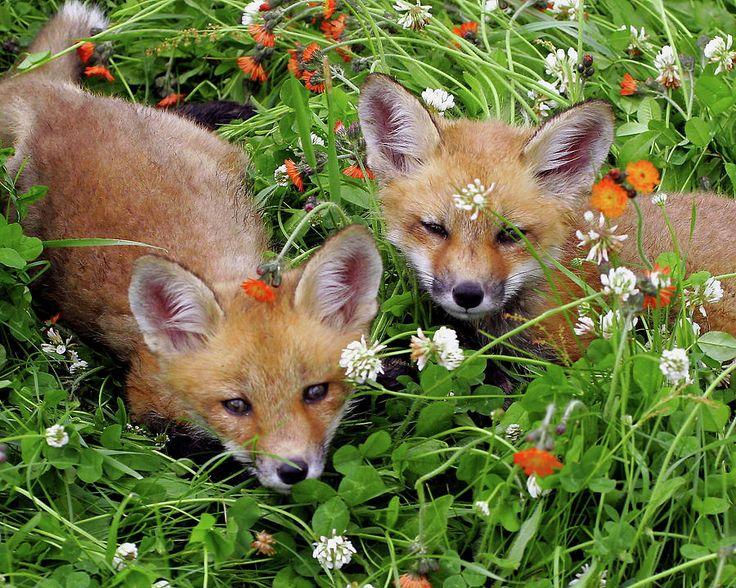 Red Fox Cubs by Herbert Fields
