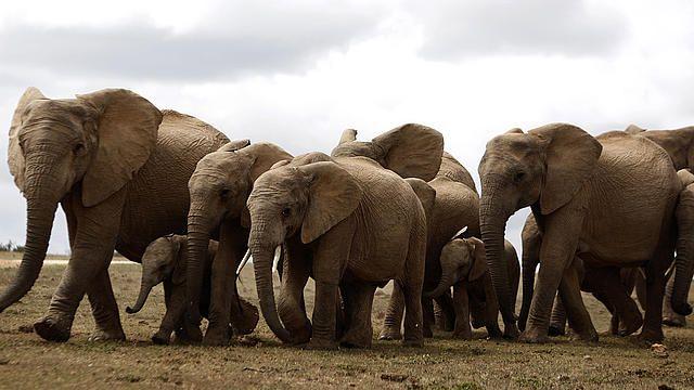 Dél-afrikai elefántgondozás - Ennek a projektnek a keretében az önkéntesek a Western Cape régióban található elefántmenhelyen dolgozhatnak: gondozhatják ezeket a méltóságteljes állatokat, és egyidejűleg kutatást is végezhetnek. A feladatok közé tartozik a felnőtt állatok és a borjak etetése, környezetvédelmi oktatás, és állatorvosi asszisztencia.