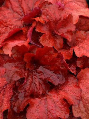 Heuchera Fire Alarm  z4-9, sun or shade, reddest foilage in spring and fall, pink flowers on reddish stems bloom early to late summer
