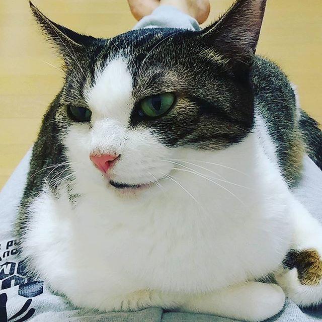 ウチの愛猫姫たん❤ 久しぶりに勝手に乗ってきた笑  関係ないけど秀ちゃんと 付き合って3年10ヶ月に なりました💕 たくさんケンカしたりするけど すごく頼りになる大好きな人❤ これからもよろしくね!  #愛猫  #姫たん  #姫  #7歳  #飼い主大好き猫  #彼氏と付き合って #3年10ヶ月記念日💕  #これからもよろしくね  #大好きだよ❤