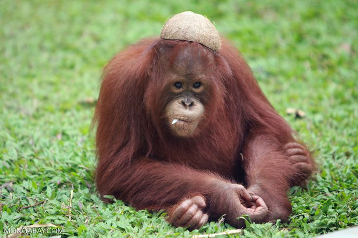 Orangutan with a coconut hat and leaf in mouth