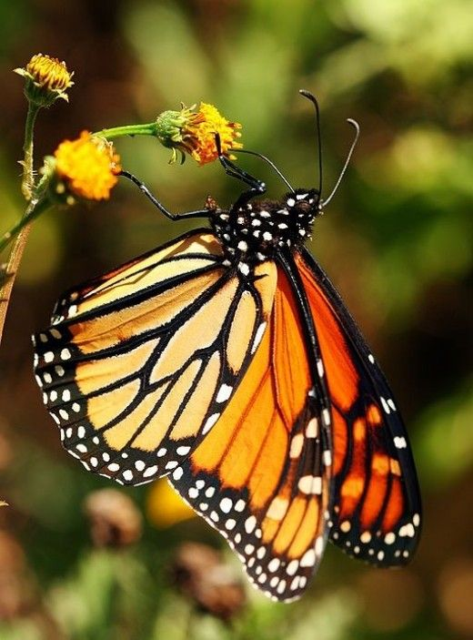 Butterfly Identification And Guide