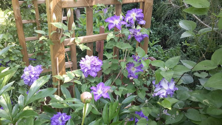 Clematis Stefan Franczak - the first flush was with unusual double blooms not mentioned anywhere by the breeder or any website. Later single flowers followed. Could be a sport? Or is it possible no one noticed that it blooms double on old wood? Photo: Dagmara Walkowicz