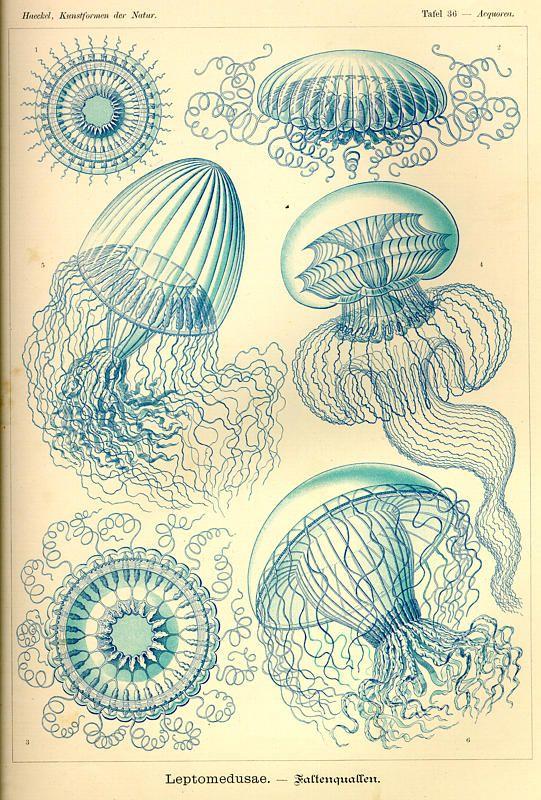 """Plate 36 'Leptomedusae' from """"Kunstformen der Natur"""" (1899-1904) by German naturalist & artist Ernst Haeckel (1834-1919). via Kurt Stüber                                                                                                                                                      Mehr"""