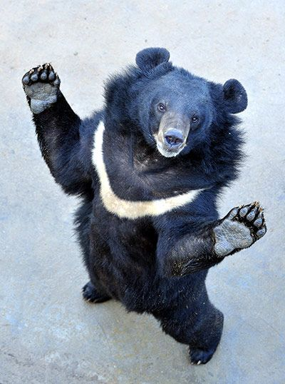 Bile farming poses a huge threat to Moon Bears, like this one, and Sun Bears, like ours at the zoo.