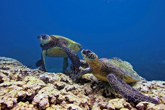 68 Best Images About Honu Turtles On Maui On Pinterest