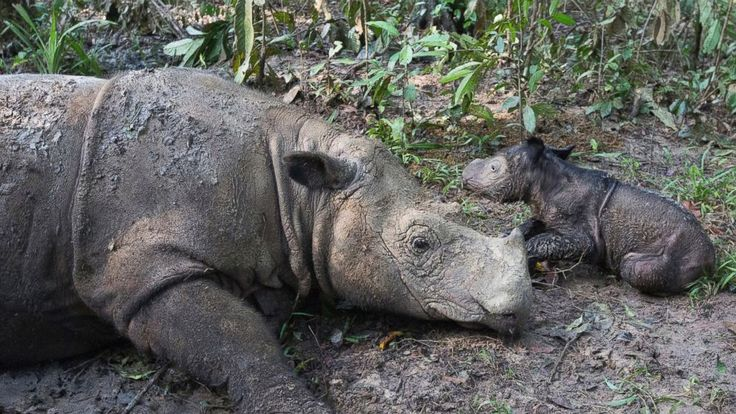 "A Sumatran rhinoceros has given birth at an Indonesian sanctuary in a success for efforts to save the critically endangered species. The International Rhino Foundation said the female calf was born on Thursday, weighs about 45 pounds (20 kilograms) and looks healthy and active. ""We..."