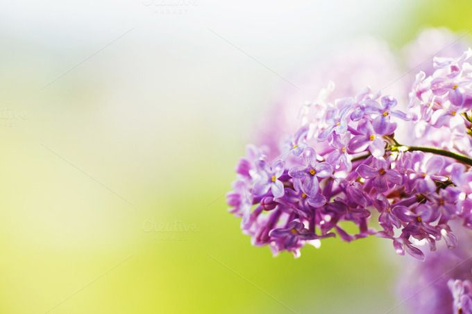 Spring lilac violet flowers by odpium on Creative Market