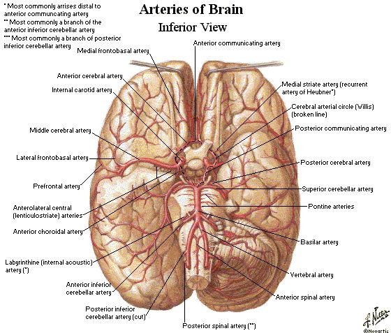 The 152 best crebro images on pinterest brain anatomy human blood supply to the brain ccuart Image collections