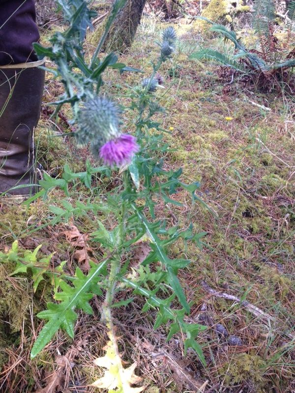 how to kill bull thistle weeds