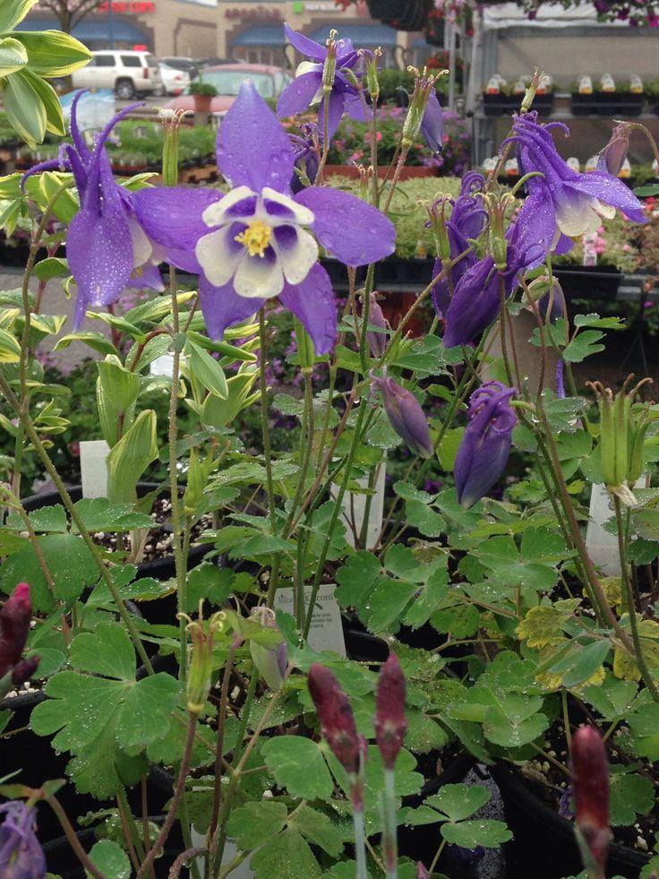 Garden Ideas For Minnesota 45 best perennials- minnesota hardy images on pinterest | flower