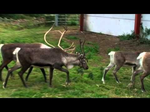 ▶ Reindeer Facts from SendMeAChristmasTree.co.uk - YouTube