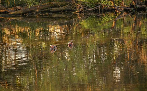 Two male mandarin ducks swimming in river