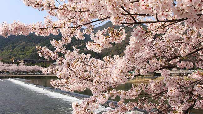 嵐山 桜の名所10選【京都編】【楽天トラベル】 SAKURA cherry blossoms