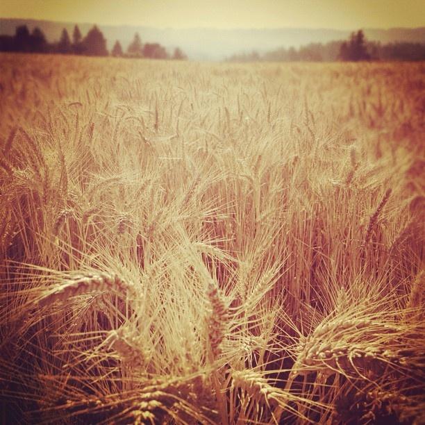 """@Erin B Shirey's photo: """"wheat field 02"""""""