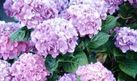 How to Grow Hydrangeas | eHow