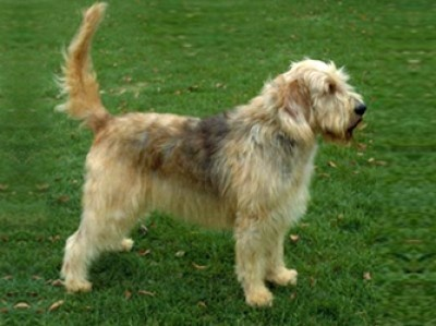 Otterhound - Strong swimmer (originally bred to hunt otters) scenthound, webbed feet, large breed. Rarest AKC breed.