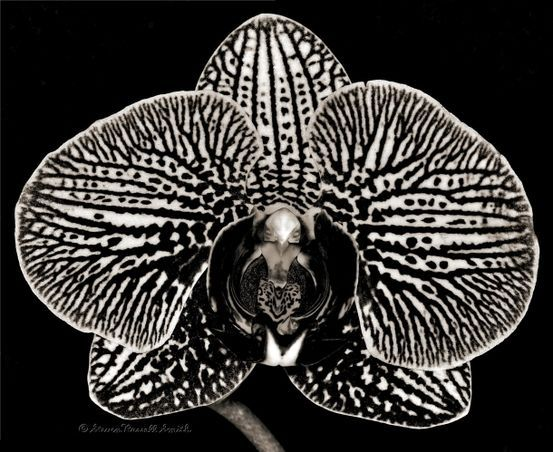 Black and White Phalaenopsis Orchid
