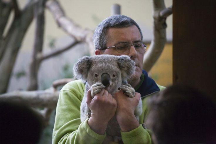 Szerintem nem annyira cukik, mint a jegesmacik - http://www.nlcafe.hu/foto/20150306/koalak-fovarosi-allatkert/