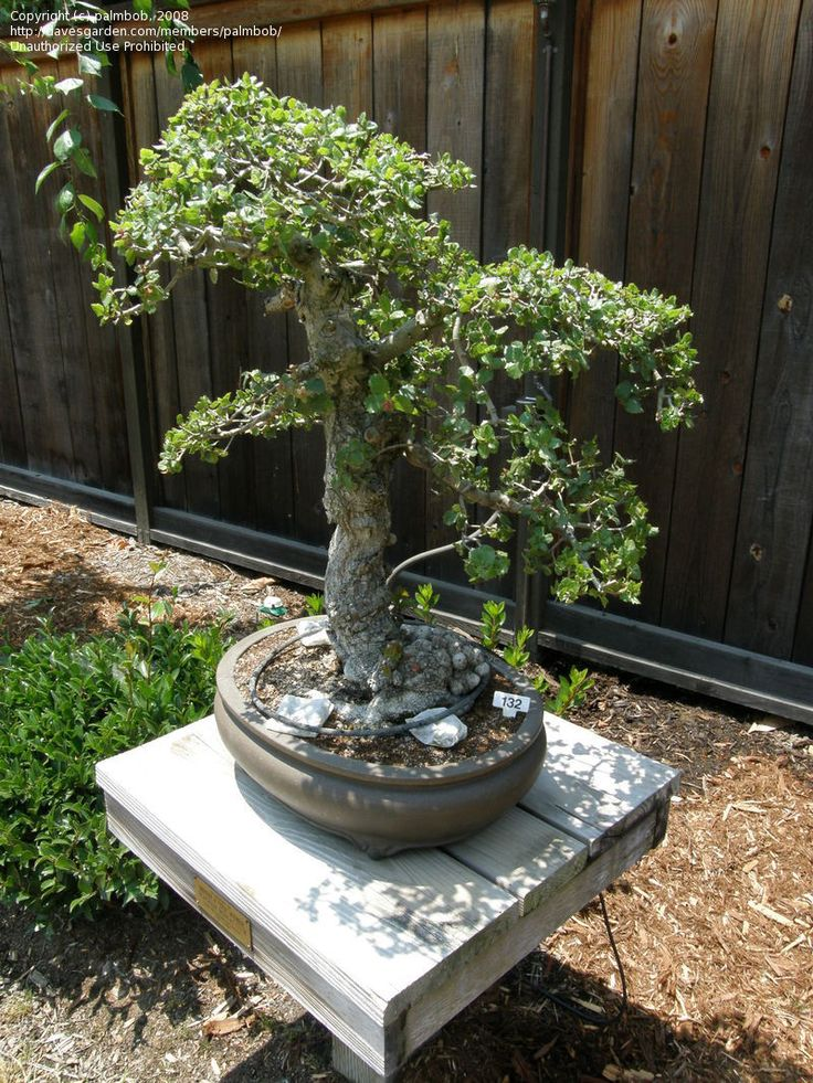 79 best images about bonsai on pinterest trees bonsai trees and