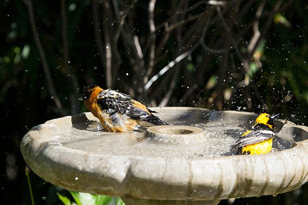 The story of the Hooded Oriole and the Black-headed Grosbeak