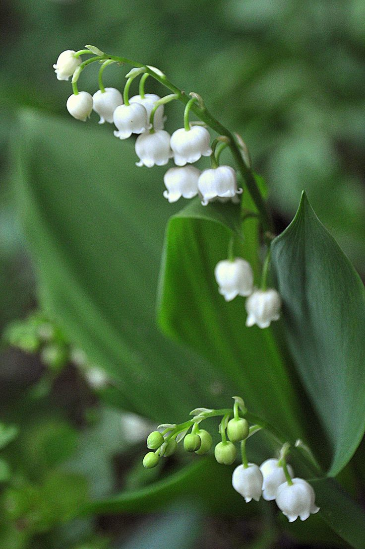 Lelie-tje-van-dalen...!  Lily of the Valley - my birth flower.