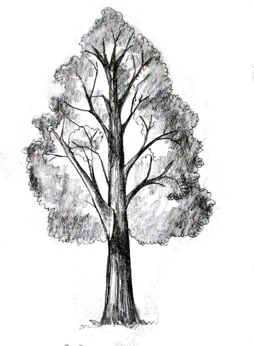 Pencil Sketches Trees