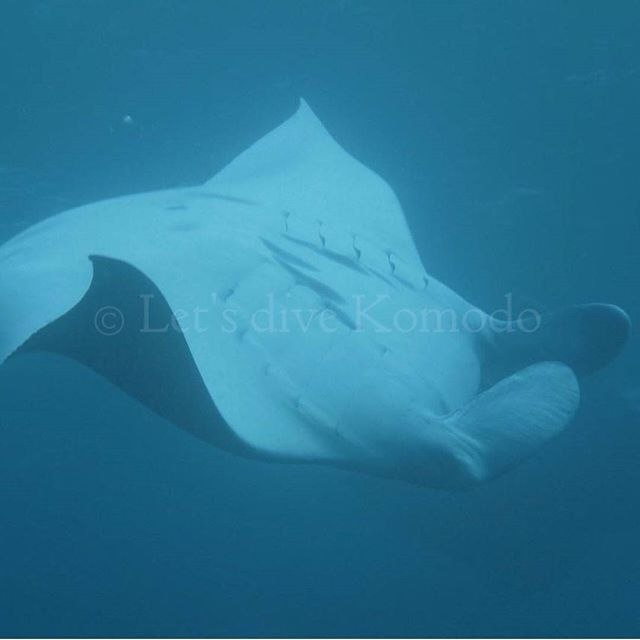 Playing Manta ray #indonesia #flores #komodo #labuanbajo #mantaray #driftdive #makassarreef #scuba #majestic #playful #livetoscuba #scubadiving #underwaterphotography #olympus #paditv #explore #scubadiving #divecenter #travel #holiday #backpacker #nofilter