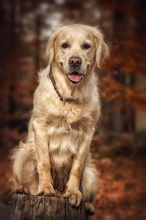 golden retriever by Danny Block