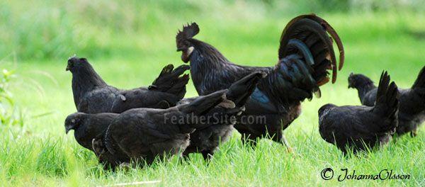 Swedish Black hen- Bohuslän-Dals svart höna. A heritage breed from the western part of Sweden.