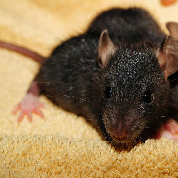 RAT & MICE Control. We exterminate your rats and mice and get rid of mice and rat smells. Alabama rat & mice extermination. 877-739-2687