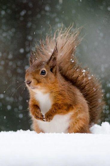 Squirrel Sittin' in the Snow.