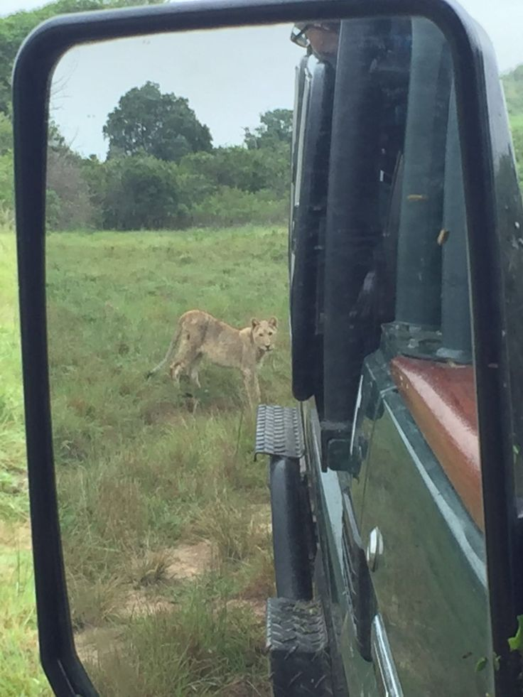 A lioness captured in the mirror of the game vehicle at Sibuya Game Reserve, Kenton on Sea, Eastern Cape, South Africa www.sibuya.co.za