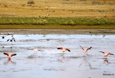 Flamingos in Patagonia