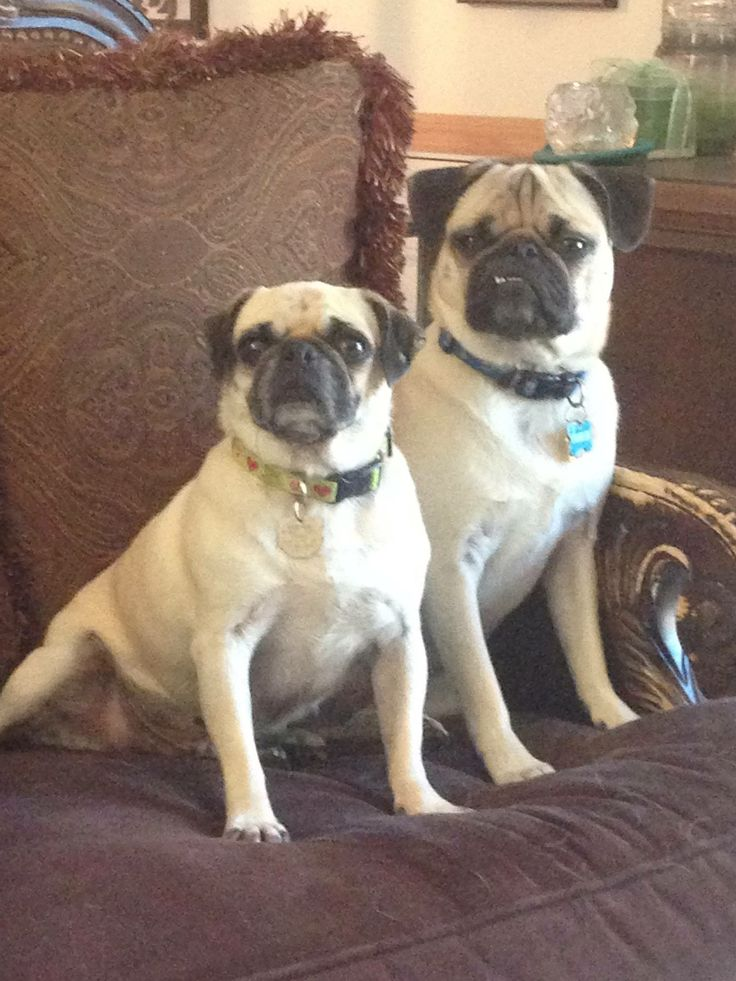 Franklin the Pug with his sister MayBelle