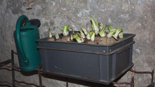 faire pousser des endives a l 39 interieur jardinage. Black Bedroom Furniture Sets. Home Design Ideas