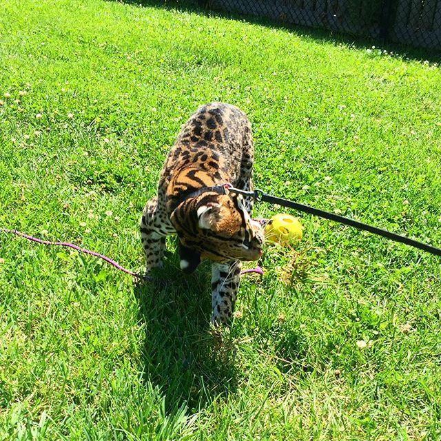 Sihil the ocelot enjoys playing with her wiffle ball in the yard! #ocelot #cincinnatizoo #cincy #zoo #zooamore #conservation #wildlife #wildlifephotography #nature #naturephotography