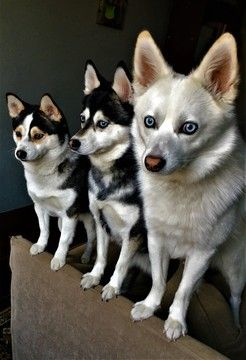 Alaskan Klee Kai puppy for sale in DICKSON CITY, PA. ADN-26758 on PuppyFinder.com Gender: Male. Age: On the way