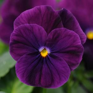 Viola 'Sorbet Purple'- Deep purple with bright yellow centers. Pansies and violas are a very good  choice for cooler weather.