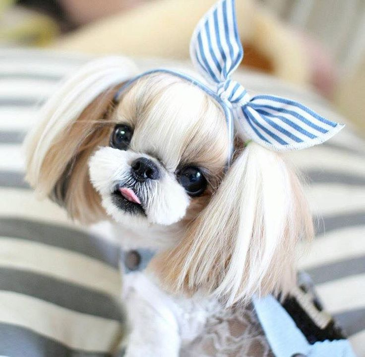 Funny Shih Tzu Haircuts Images Haircuts For Men And Women